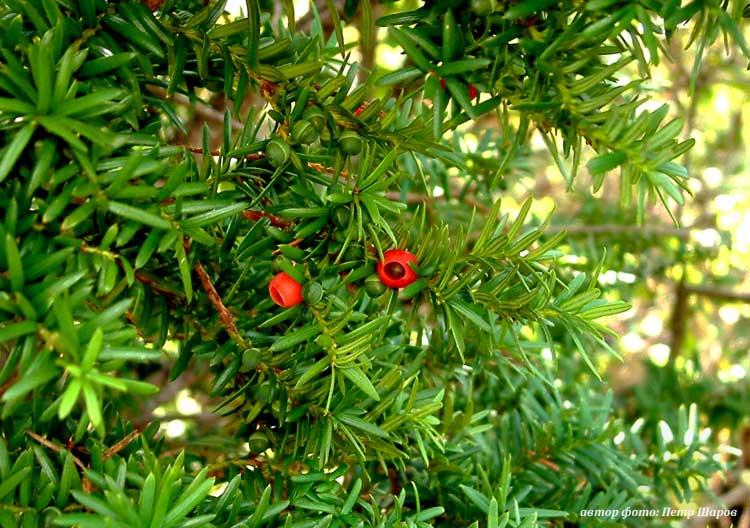 Растения, удобрения в. И герань в горшочках красная пламенеет из окон.  ГЕРАНЬ (Geranium) - это широко.