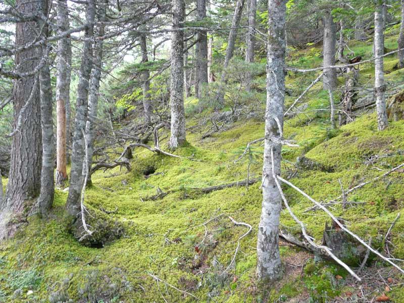 елово-пихтовый лес, гора Облачная, маршрут национального парка Зов тигра, фото: Петр Шаров