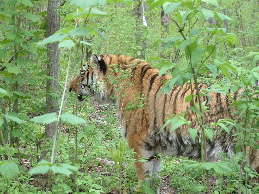 амурский тигр, уссурийский тигр, фото: Петр Шаров