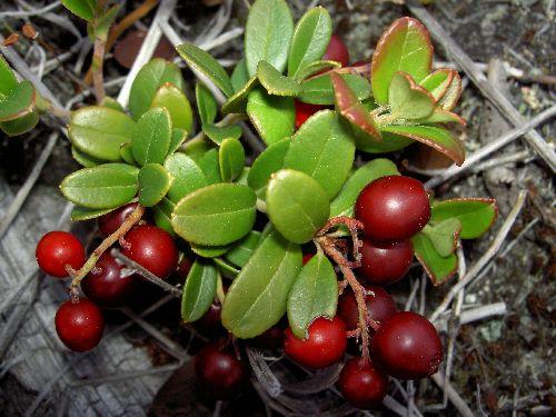 Настой из листьев используют в качестве мочегонного и антисептического...