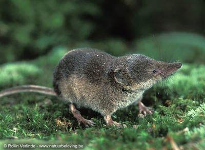 Фото: http://nasekomojadnye.natureplanet.ru/index/index_479.html, Раздел о самых-самых, самые прожорливые животные, бурозубка